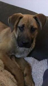 "Young Female Dog - Boxer-Shepherd: ""Ginger"""