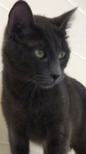 """Adult Female Cat - Domestic Short Hair: """"Lilly"""""""