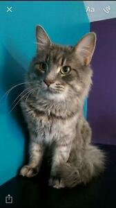 "Adult Male Cat - Domestic Medium Hair: ""Blue"""