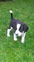 "Baby Female Dog - Beagle-Labrador Retriever: ""Hawley"""