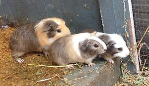 3 x male baby guinea pigs. Medowie Port Stephens Area Preview