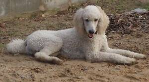 Desexed Standard Poodle and a Groodle .. Port Macquarie Port Macquarie City Preview