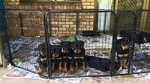 FEMALE ROTTWEILER PUPPY PAPERS READY TO GO Greenbank Logan Area Preview
