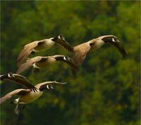 ISO Waterfowl Hunting - Sudbury and North Bay
