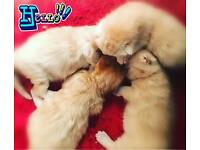 Fluffy cutie gingers kittens available