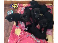 PURE BREED BLACK/WHITE PUG PUPPY BOY AVAILABLE 21/2/18 LAST OF A HEALTHY LITTER OF 7