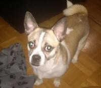 Cute Jack/Pug for Sale!!!