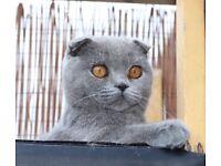 Blue pedigree kitten