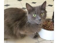 grey cat looking for a new home
