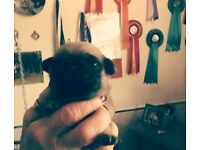 Stunning baby pugs can now be viewed