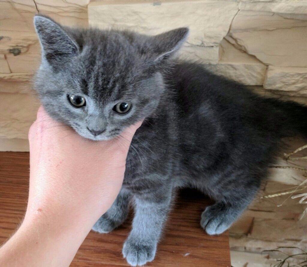 Beautiful grey British Shorthair kittens