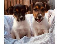 Jack Russle puppy's