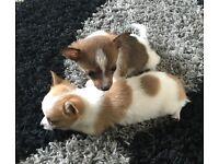 3 quarter chihuahua puppies