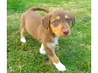 Beautiful Collie/Husky x Podenco Puppy. Last of the litter!