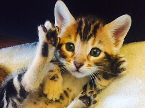 Marble Bengal Kittens for Sale!
