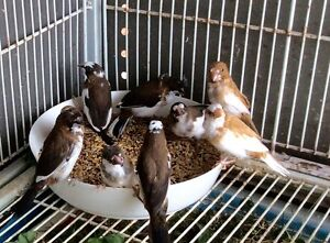 Mannikin finch from $ 9 Rowville Knox Area Preview