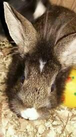 Dwarf baby bunnies need good home asap