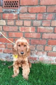 Handsome red male cocker spaniel