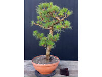 Quality Pinus Nigra Ready For Styling Into Bonsai