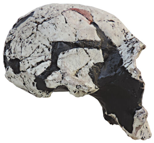 Skull of Homo rudolfensis - cast of resin with stand