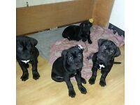 Cane Corso puppies awesome pedigree
