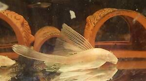 Albino Longfin Bristlenose Breeding Colony Berowra Heights Hornsby Area Preview