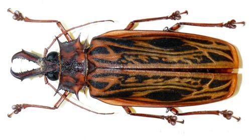 Macrodontia cervicornis....Female....Peru....BIG SIZE!....VERY RARE!