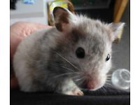 GORGEOUS GREY & WHITE VERY FRIENDLY FEMALE HAMSTER & XL ROSEWOOD CAGE