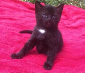 Part Ragdoll Kittens