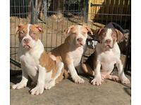 Xl American bully pups