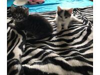 Two adorable kittens for sale