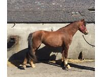 Welsh section c mare