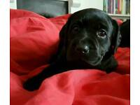 Beautiful labrador puppies - only 1 left