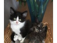 Beautiful long haired kittens. 1 black and white male and 1 tortoise shell female. Ready now.
