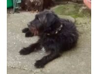 Male Patterdale X looking for a loving home