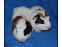 Happy, Healthy, Black White & Brown Abyssinian Baby Guinea Pigs