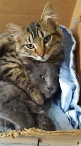 """Young Male Cat - Domestic Medium Hair: """"Casey"""""""