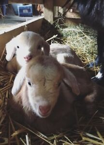Baby dwarf goats for sale (place order now!)