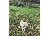 Stunning goldador puppy available
