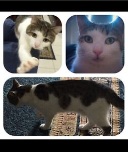 Missing cat - Minty Doreen Nillumbik Area Preview