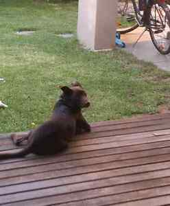 Beautifully natured red Kelpie looking for a caring hand Graceville Brisbane South West Preview