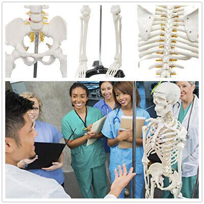 85cm 33 Tall Medical Skeleton Model Life Human Skeleton Model For Anatomy Study
