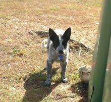 Purebred blue cattle dog pup Ipswich Ipswich City Preview
