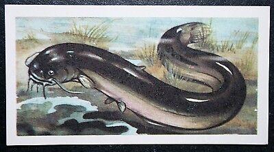 EUROPEAN  CATFISH   WELS  River Monster     Vintage Colour Card  #  VGC