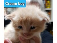 Beautiful Maine coon kittens looking for new homes