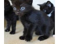Beautiful smokey silver black tabby kittens