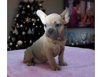 Stunningn French Bulldog Pup