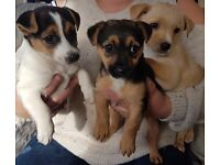 Jackrussel puppys for sale