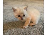 Beautiful TICA Registered Bengal Kittens.