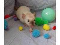 Baby girl rats ready for new homes